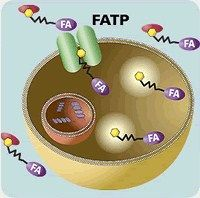 Molecular Devices - QBT Fatty Acid Transporter Assay