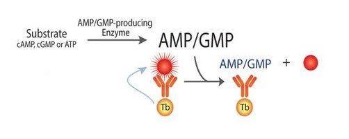 BellBrook Labs - TRANSCREENER AMP2/GMP2 TR-FRET Assay