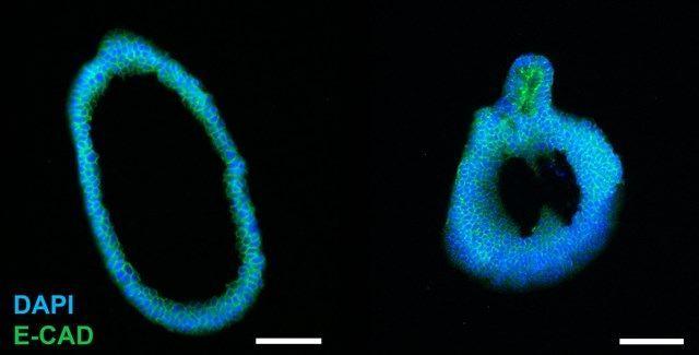AMSbio - Cultrex® Organoid Progenitor Cells